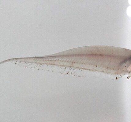RA implementada en acuarios para engañar a los órganos de detección de peces